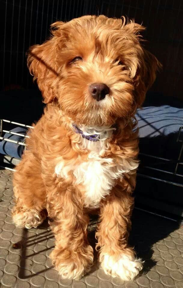 Cockerpoo Sweet pups Pinterest