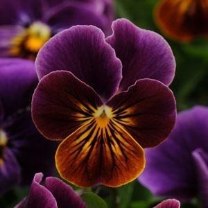 Viola, Sorbet Antique Shades - Garden Seeds - Annual Flower Seeds, 6-8in
