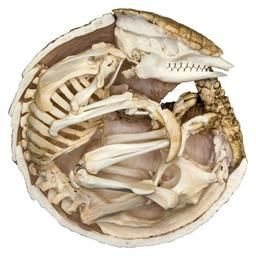 WLQ-2592: Three-banded Armadillo Articulated Skeleton Curled (6 inches) (Do Not Specify)