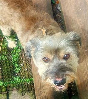 Providence, RI - Standard Schnauzer Mix. Meet Molly Mae ADBR in TX, a dog for adoption. http://www.adoptapet.com/pet/19224453-providence-rhode-island-standard-schnauzer-mix