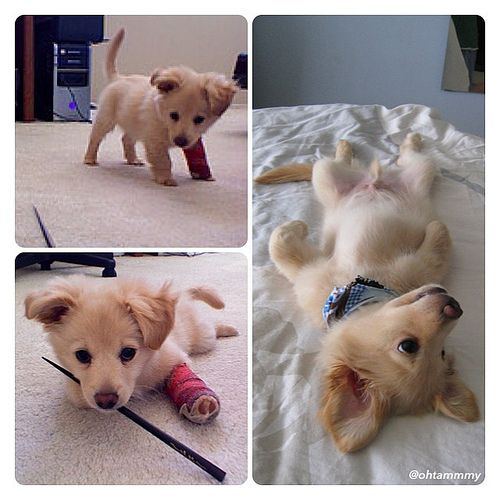 golden retriever chihuahua mix? how is that possible?