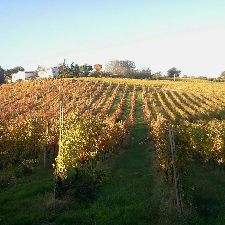Terra del Sole Hills! A wineyard in Romagna