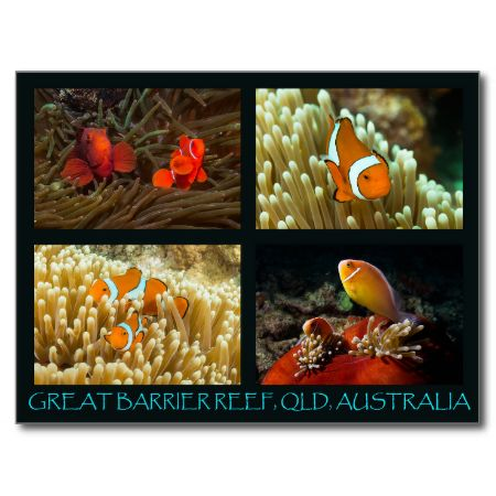 A beautiful postcard featuring a variety of clownfish. The photos were taken on Australia's Great Barrier Reef. #fish #coral #tropical fish #reef #scuba #animals #marine #postcard #clownfish #australia