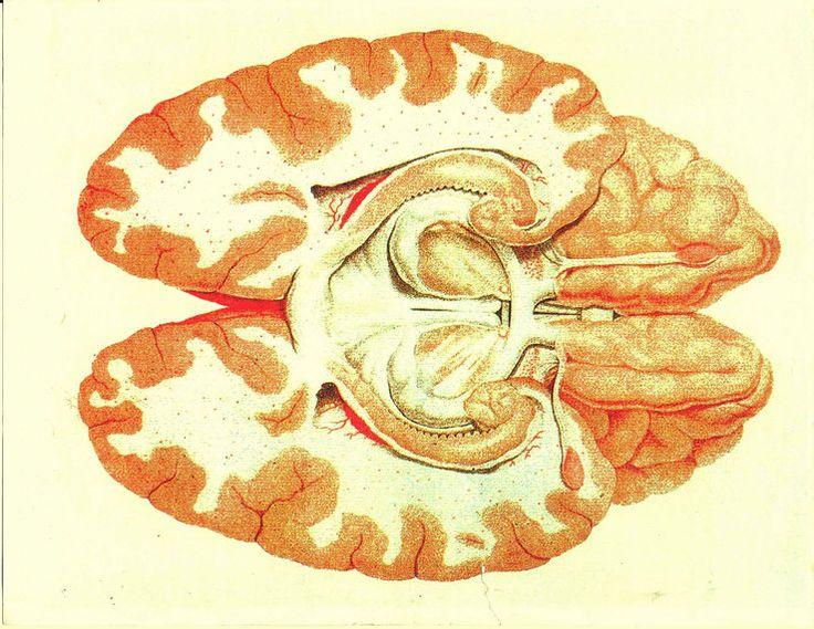 Cerveau vu par sa base, et disséqué de maniere à montrer une coupe horizontale du grand hippocampe