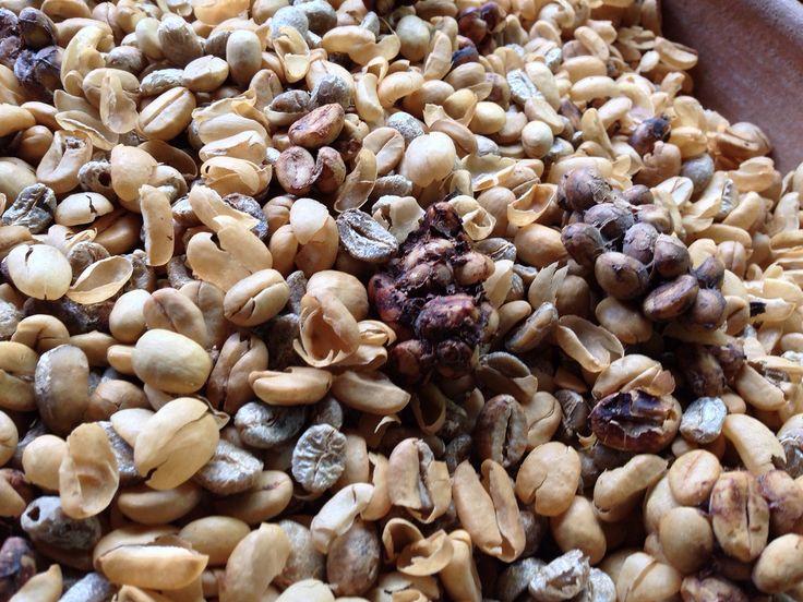 Hasil gambar untuk pohon kopi arabika