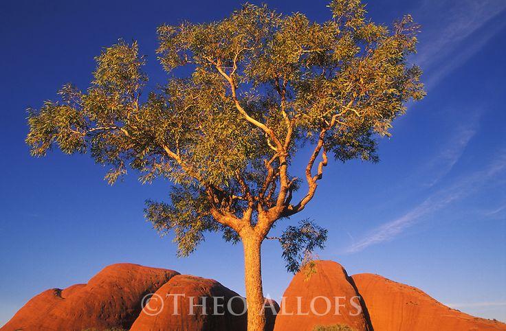 Eucalyptus tree and Kata Tjuta | Theo Allofs Photography