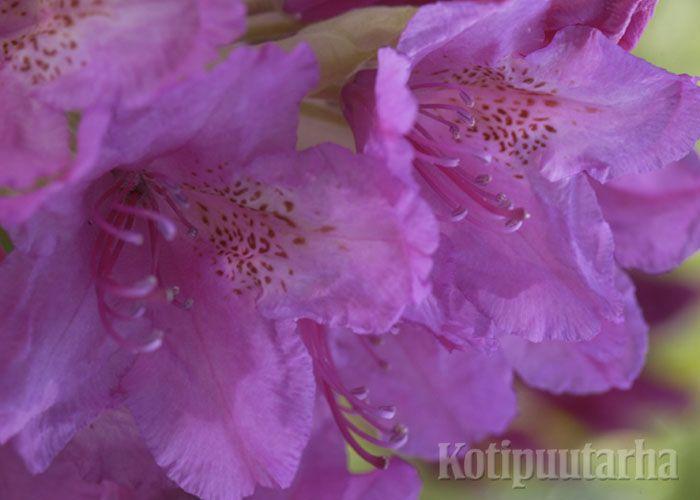 Marjatanalppiruusu (Rhodorendron Tigerstedtii-Ryhmä) www.kotipuutarha.fi