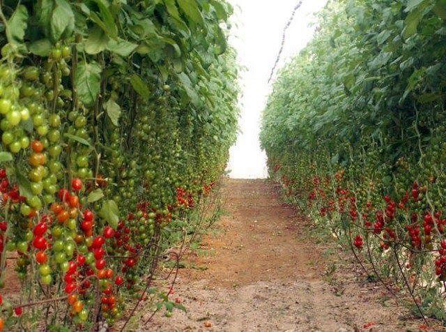 """""""El desierto de Aravá es una zona árida de Israel en donde caen unos 25 mililitros de agua al año y posee un clima extremo, con casi 50 grados en verano. A pesar de ello, representa el 60 por ciento de las exportaciones de vegetales frescos de Israel"""""""