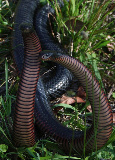 Red Bellied Black Snake (Paeudechis porphriacus)--fighting males
