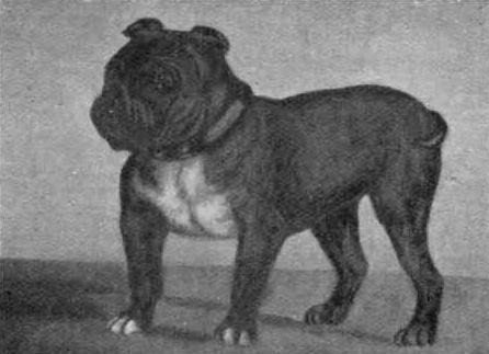 ❤ =^..^= ❤    Toy Bulldog: The Toy Bulldog ~ Little Knot ~  is an extinct dog breed that existed in England at 18th and early 19th centuries. They were created when breeders attempted to develop a new breed of miniature bulldogs, but they were never very healthy or fertile and the Toy Bulldog was never fully developed into a recognized breed.