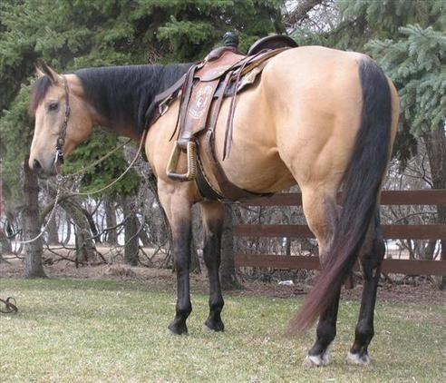 Check out this amazing Gentle looking Buckskin QH-Gelding for adoption Quarter Horse for sale USA!