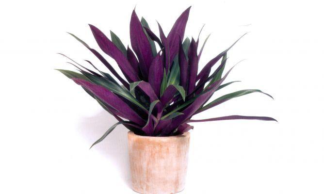 Reo Plantas Moradas Plantas Plantas De Interior Resistentes