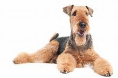 airedale terrier - Yahoo Search Results Yahoo Image Search Results