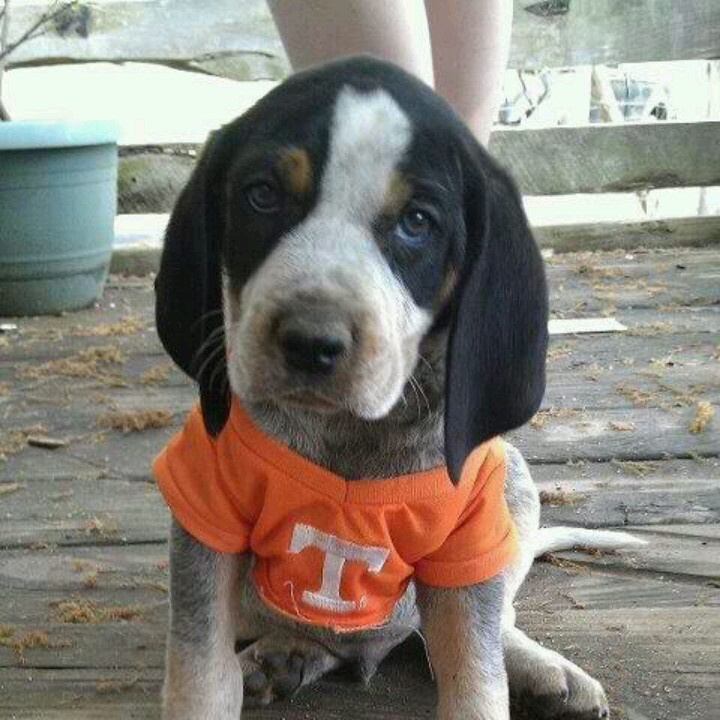 9fd144fc3fb51a1ef796a782f68a7447 cute little dogs go vols 12 best smokey and friends images on pinterest tennessee