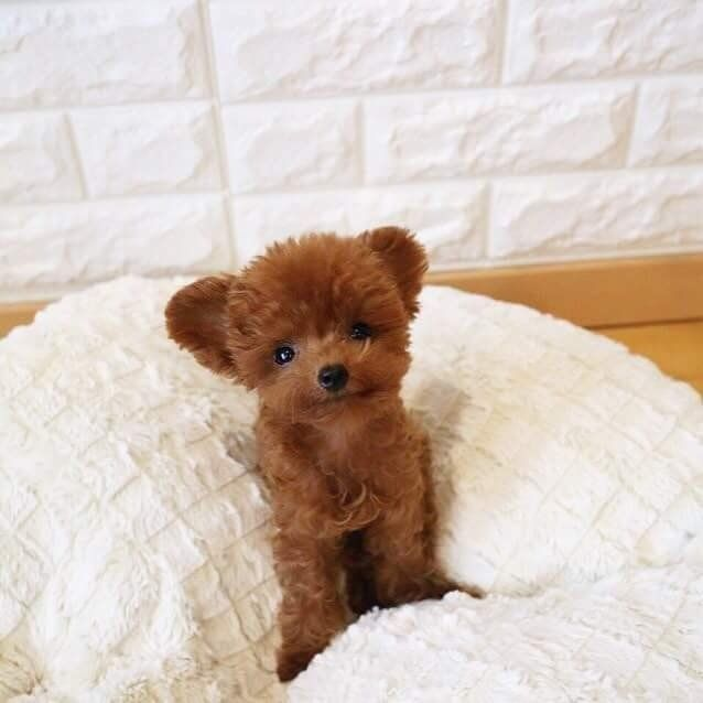 Reddit Meet Shu A Toy Poodle From Singapore A Teddy Bear Real