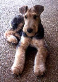 Gluing and Setting Airedale Terrier Ears
