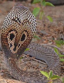 back of cobra snake head - Google Search