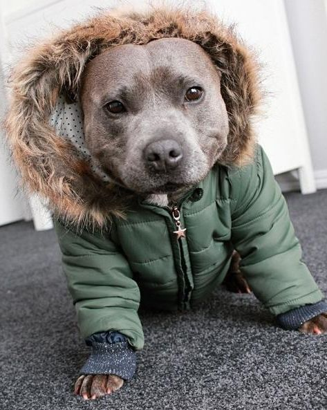 This pit bull is ready for fall in his hooded jacket. He'd really like a PSL.