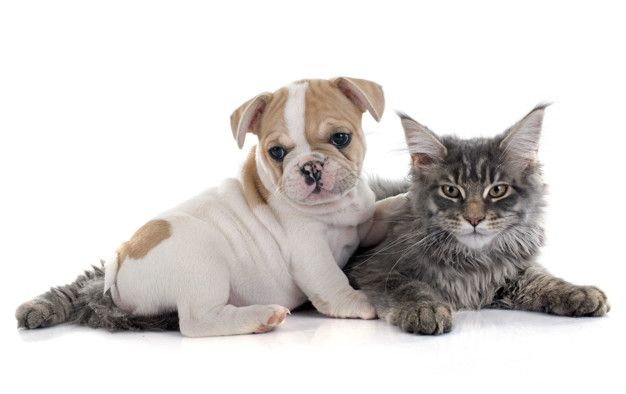 Puppy French Bulldog And Cat French Bulldog Puppies Cats
