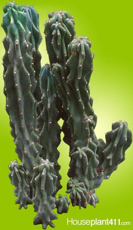 Cereus Peruvianus Excellent Indoor Cactus Houseplant