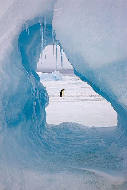 """The perfect frame and the perfect chance as an emperor penguin wanders by on its way to the sea.""  Picture: SUE FLOOD"