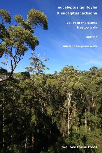 """""""The Giants"""" are the giant yellow and red tingle trees which are only found in this particular area of Walpole and Nornalup in the Walpole Wilderness Area.   Yellow tingles are smaller, growing to thirty-five feet or more. The red tingles, however, reach almost eighty feet into the air!"""