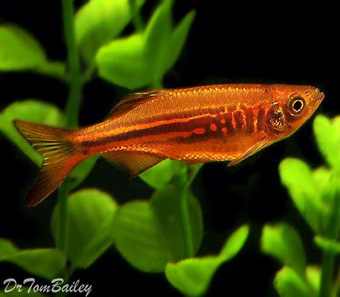 17 best images about tetras danios rasboras on pinterest for Giant danio fish