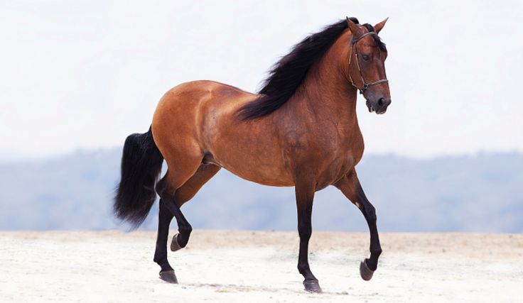 Colombian Horse