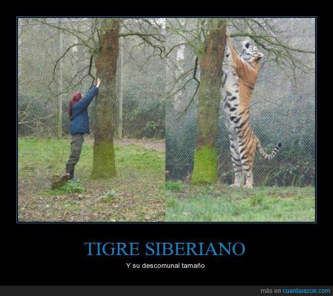 TIGRE SIBERIANO - Y su descomunal tamaño