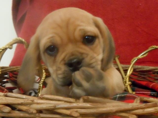 puggle puppy for sale near lancaster pennsylvania 1000 images about universal puppies on pinterest