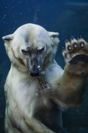 Københavns Zoo's isbjørne har fået et nyt anlæg med mulighed for nærkontakt med gæsterne - til gensidig glæde for mennesker og dyr. - Foto: Ditte Valente