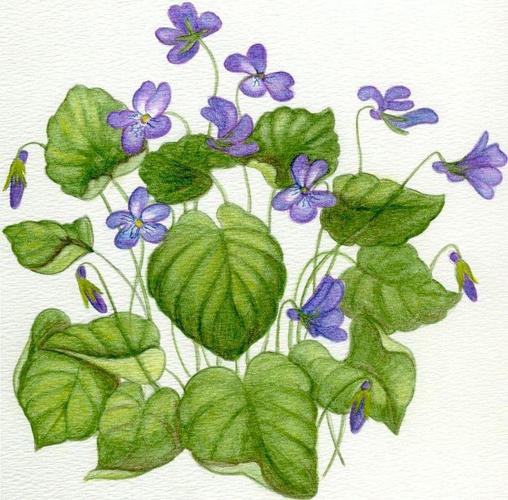 17 Best images about VIOLETS on Pinterest | Lady violet, Violet ...