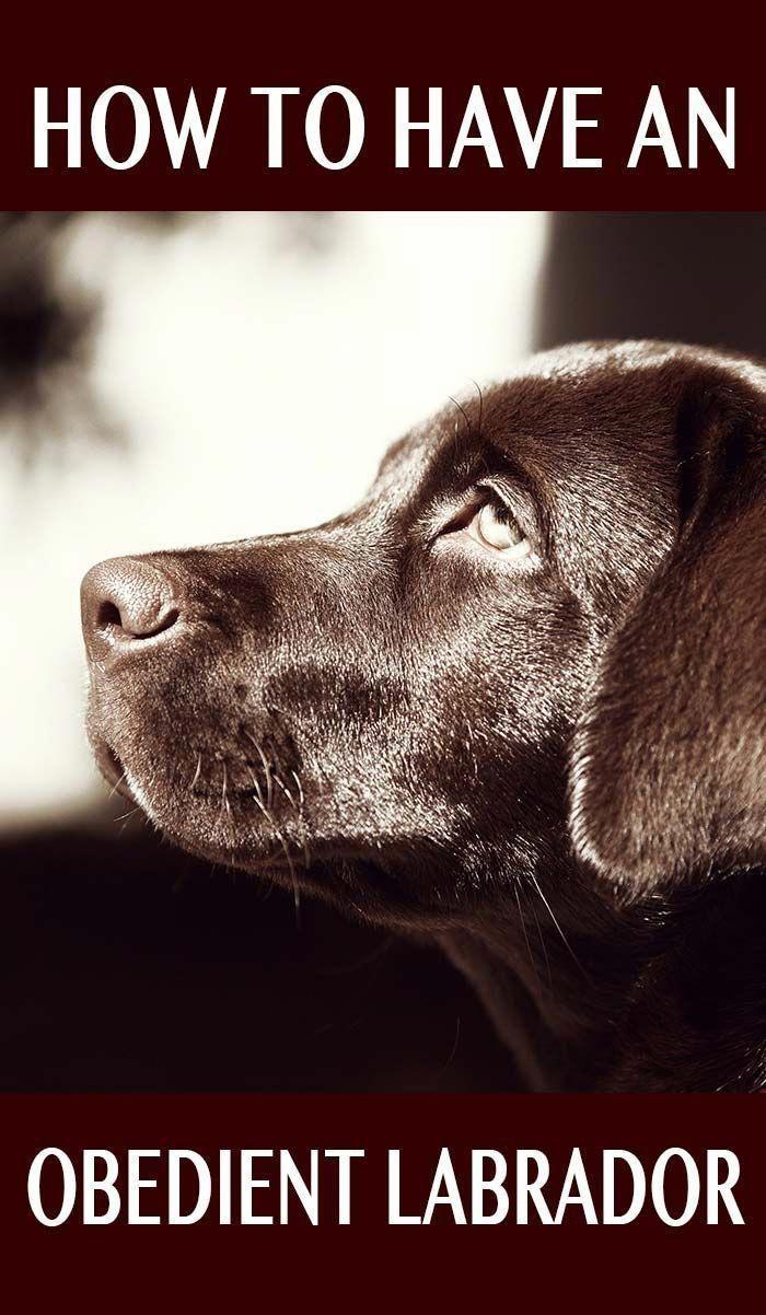 Labrador Obedience Training Dog Training Labrador Retriever