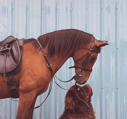 Newfoundland dog with horse