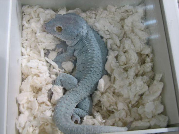 Blue Tokay Gecko morph. | Photos | Pinterest