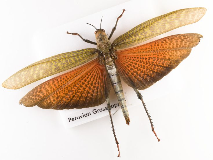 Tropidacris dux, grasshopper, dried specimen.  Some insects have big eye spots on their bodies which they flash at predators, hoping to scare them away. Predators may think that these eyes belong to bigger animals or the flash of these bright patches could just be used to startle.