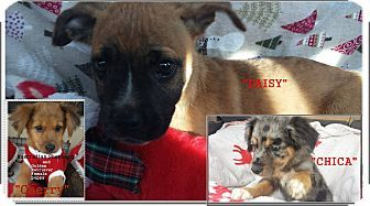 El Cajon, CA - Boxer/Labrador Retriever Mix. Meet Daisy, a puppy for adoption. http://www.adoptapet.com/pet/17554210-el-cajon-california-boxer-mix