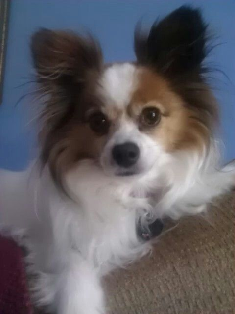 are chihuahua hypoallergenic 17 best images about papillon colors info on 1266