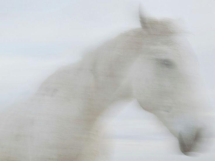 """Dissolvenza in grigio Fotografia di Erika Larsen, National Geographic  I cavalli hanno cambiato la vita sulle Great Plains, e per i nativi americani di oggi, sono ancora un simbolo di tradizione e fonte di orgoglio e sfarzo. Qui, Zoda, il cui nome significa """"grigio"""" in Hidatsa."""