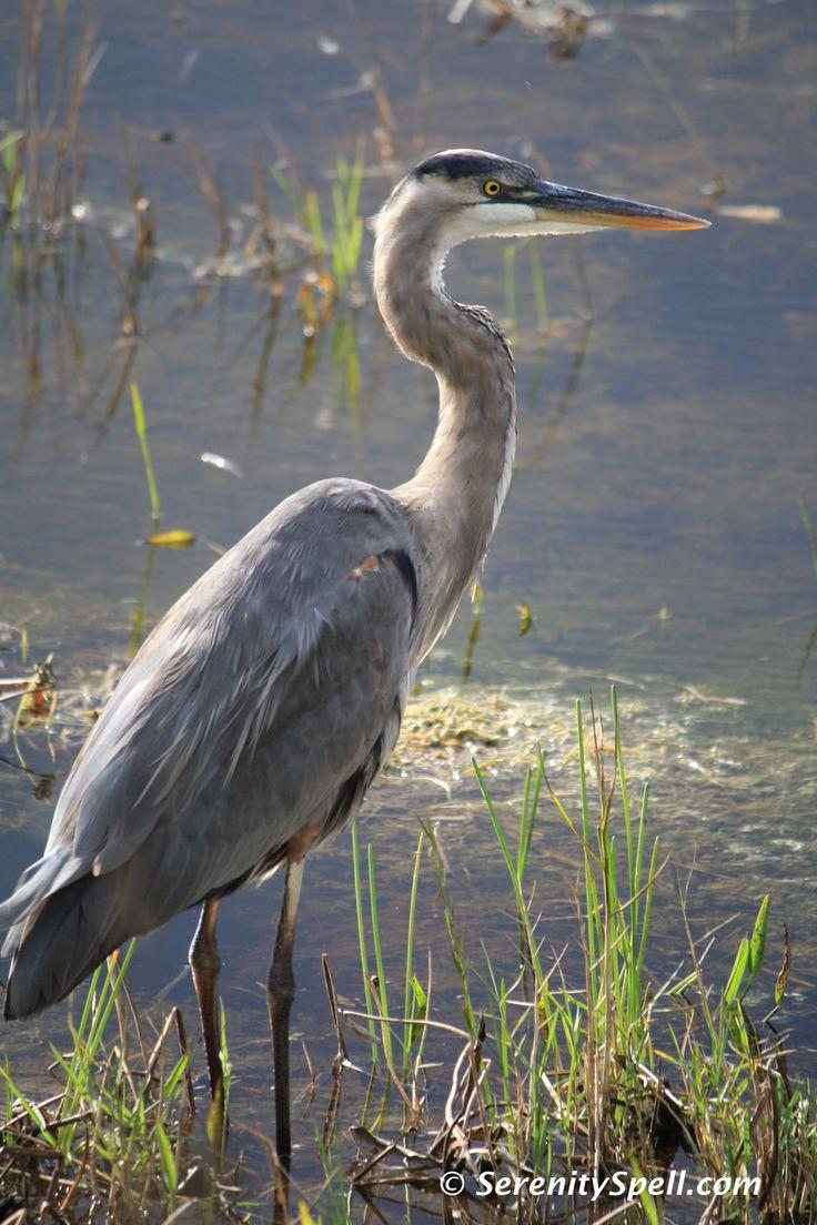 heron | Great Blue Heron at Dusk, Arthur R. Marshall Loxahatchee Wildlife ...