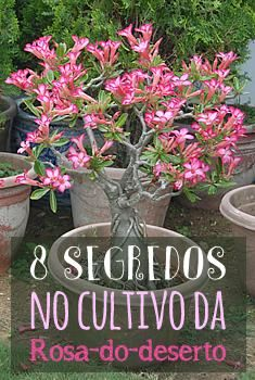 8 segredos no cultivo da Rosa-do-Deserto.
