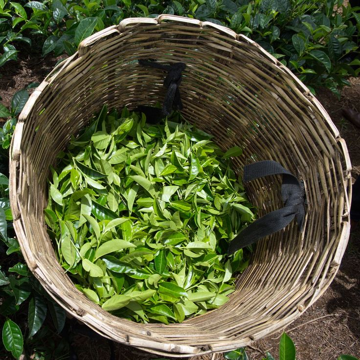 Tea leaves are handpicked on Dilmah Tea Gardens to ensure the quality of the leaf, the first and most important part of teamaking.
