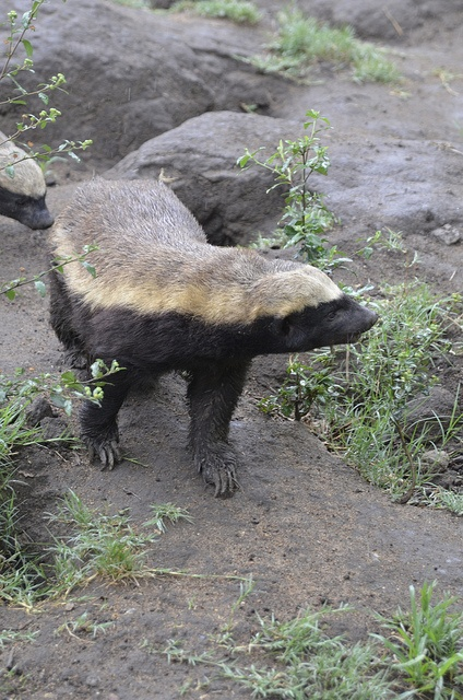 Stoffle the Honey Badger at Moholoholo by Nomad Africa Adventure Tours, via Flickr