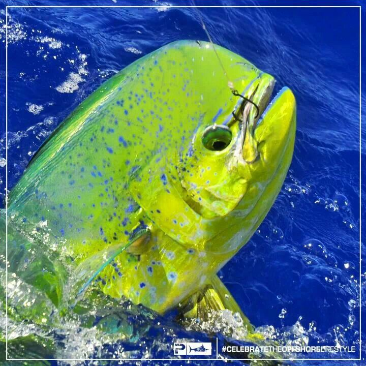 2081 best images about creatures of the deep on pinterest for Mahi mahi fish