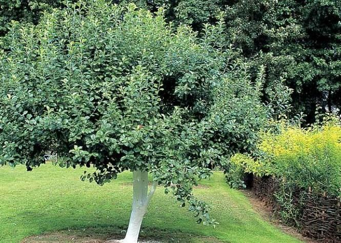 36 best arbres fruitiers images on pinterest fruit trees agriculture and cuttings - Comment planter un arbre fruitier ...