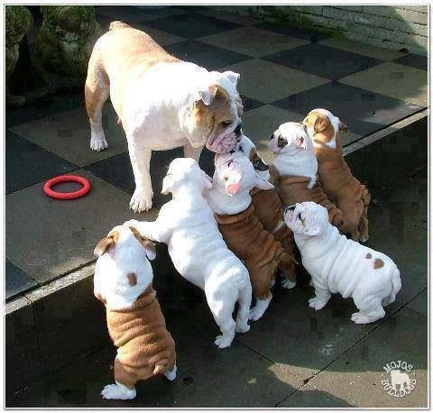 bull dog puppies and mom