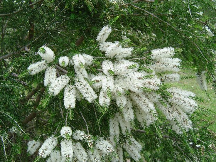 Moonah Melaleucas are bird attracting dense native shrubs or small trees growing to about 8m, and producing attractive creamy white bottle brush flowers.