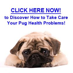 Learn what Pug health problems are, so you can spot them when it's appear