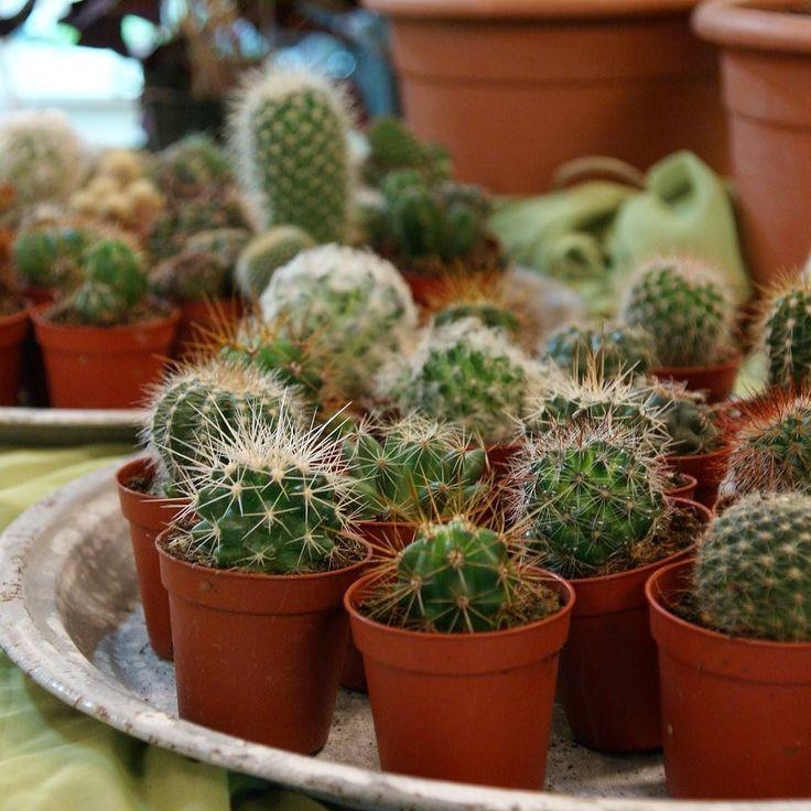 Minikaktusar till försäljning i inspirationsbutiken. Vi har även näring och jord för omplantering av dina kaktusar. #kaktus #cactus #wexthuset #taggar #inspiration