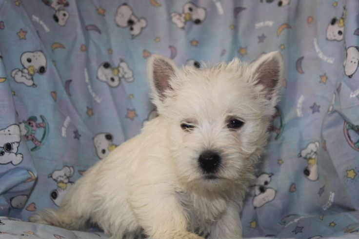 Westie Puppies For Sale  These westie pupies are as nice as they come call 717-532-6001   http://www.cutepuppiesforsaleinpa.com/